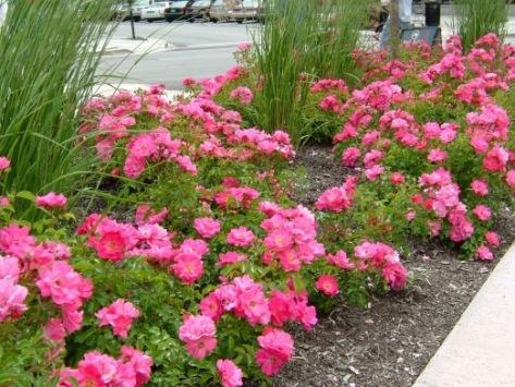 rose-flower-carpet-pink